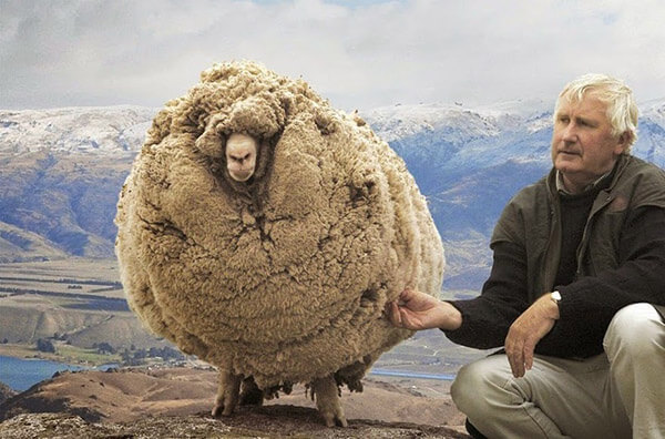 89 pounds of wool